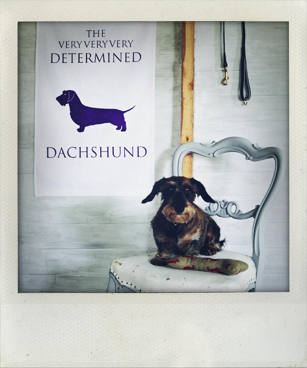 The Very very very determined dachshund |