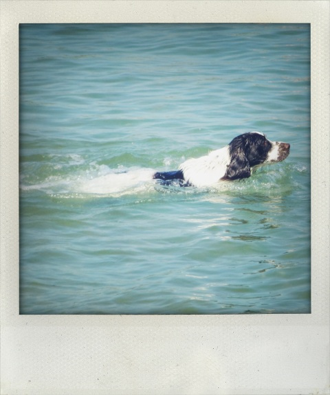 Springer spaniel swimming